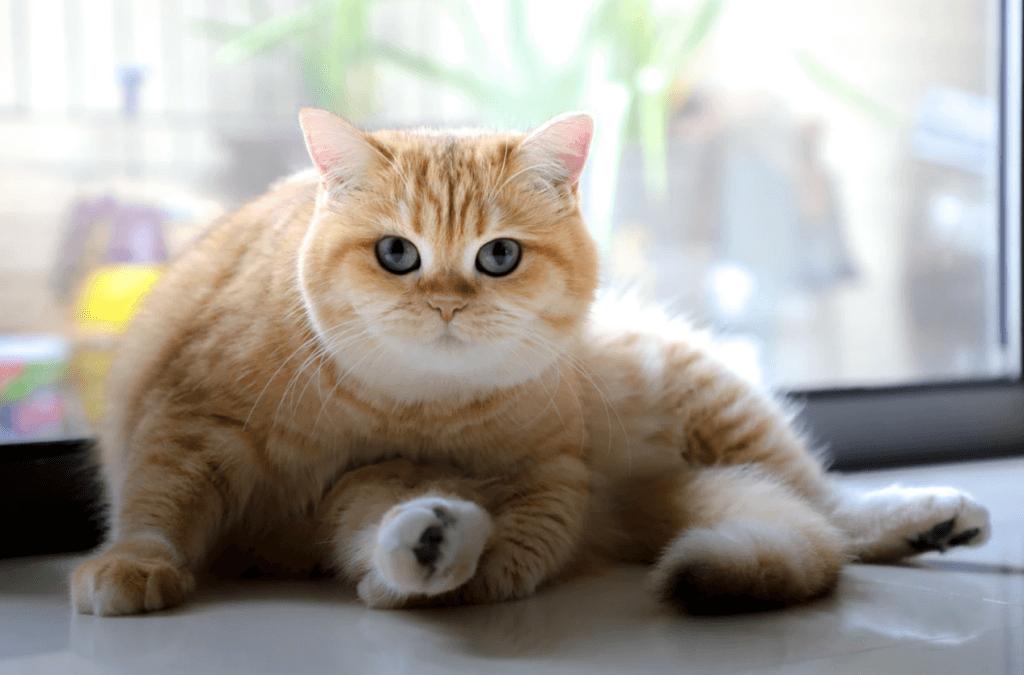 誰說十隻橘貓九隻胖,一隻特別胖! 橘貓的小秘密才不只這些!
