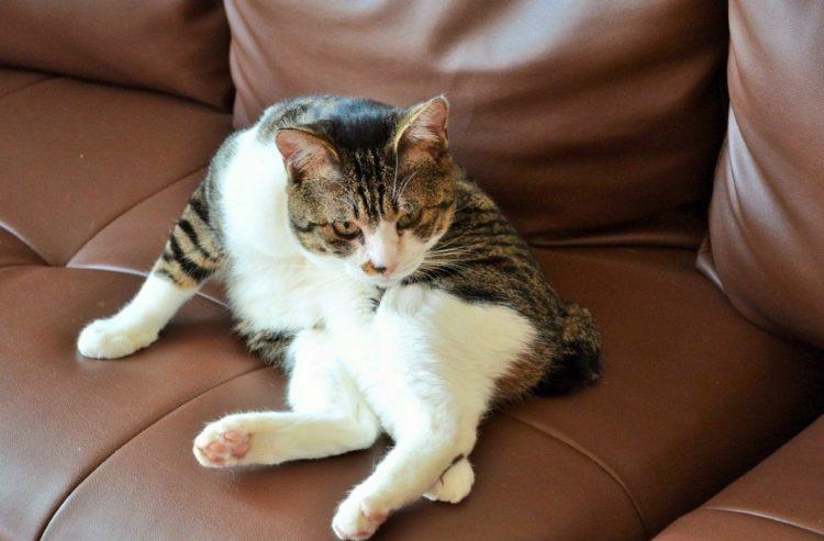 貓咪毛球症大解密