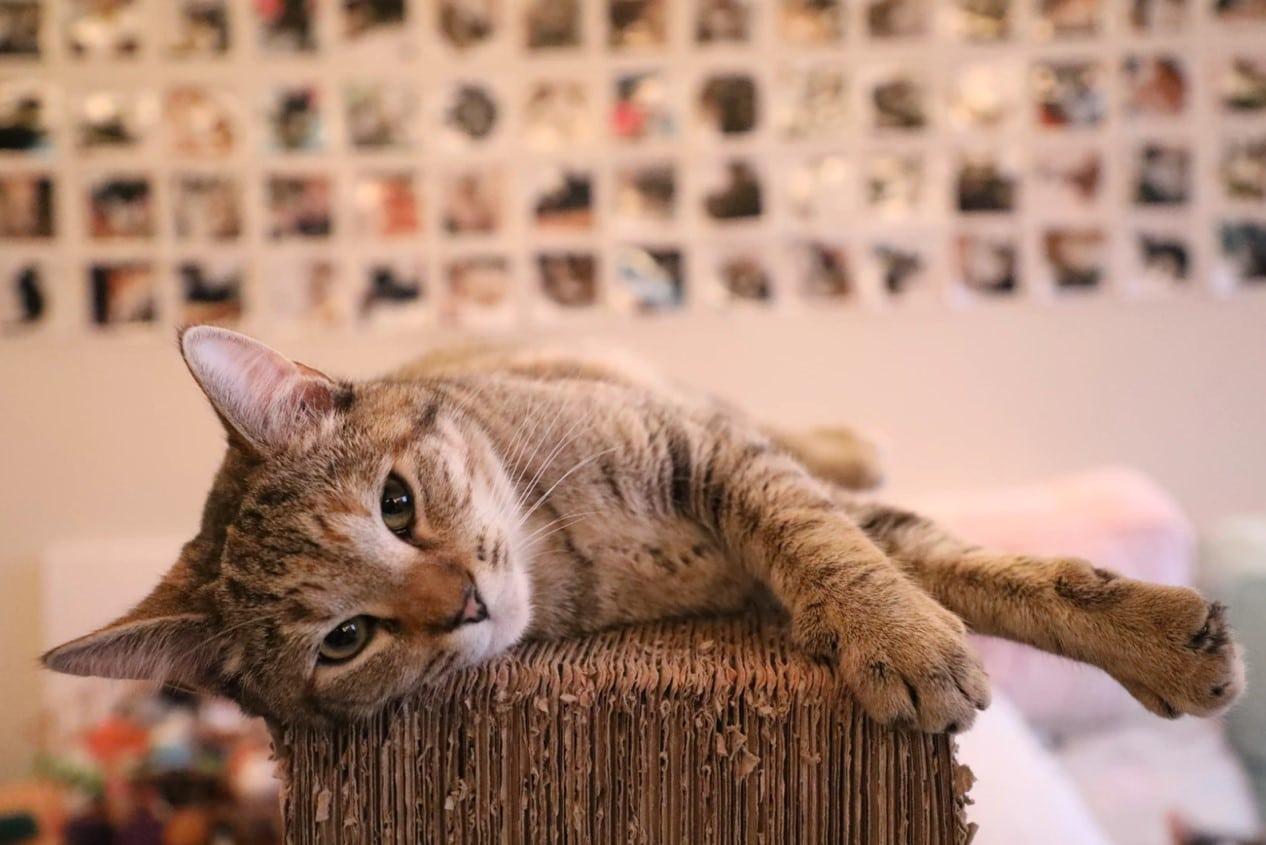 如何讓貓愛用貓抓板?