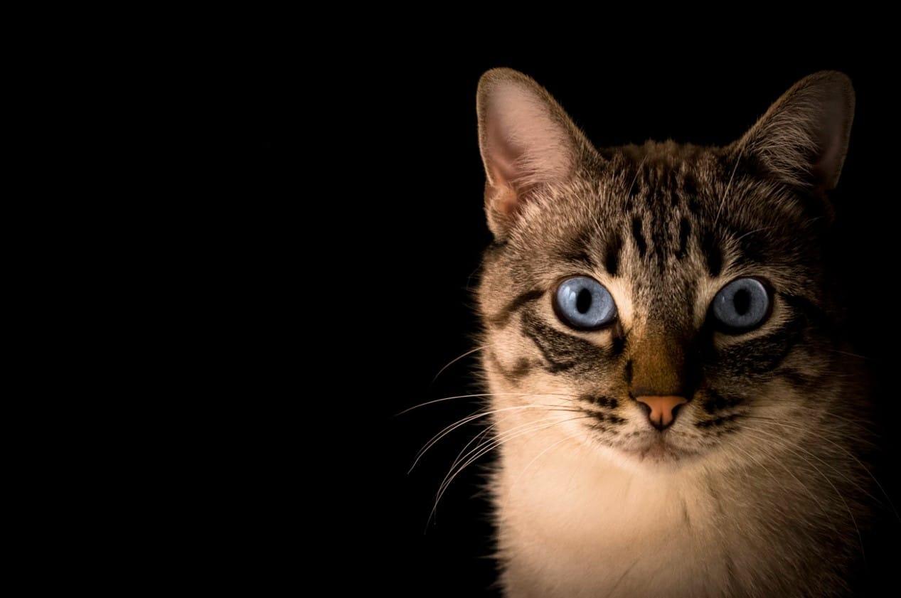 為何貓咪晚上一直叫?如何解決?