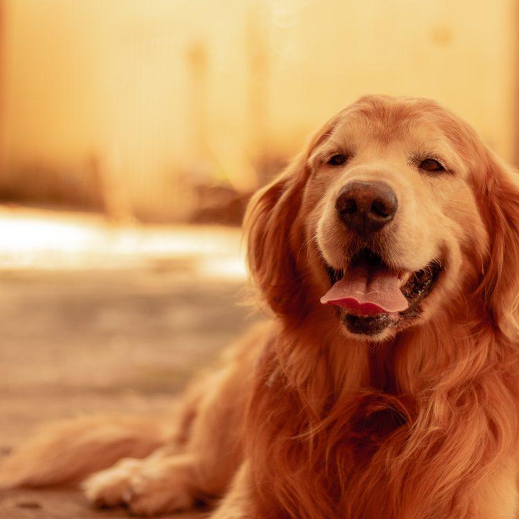 如何挑選洗毛精-黃金獵犬