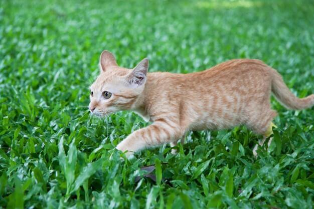 貓咪的致命殺手-腎衰竭