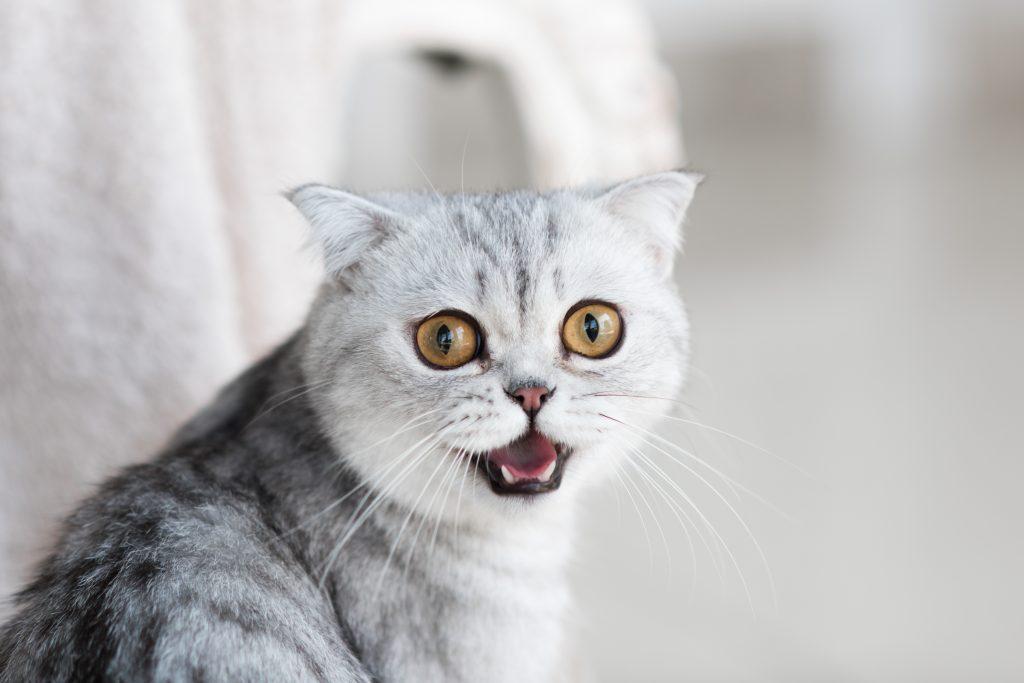 為何貓咪一直喵喵叫? 原來是這原因~